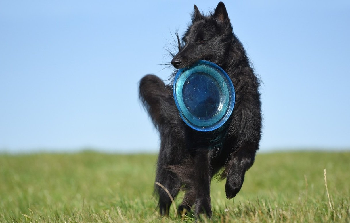 Dog Frisbee hondensport